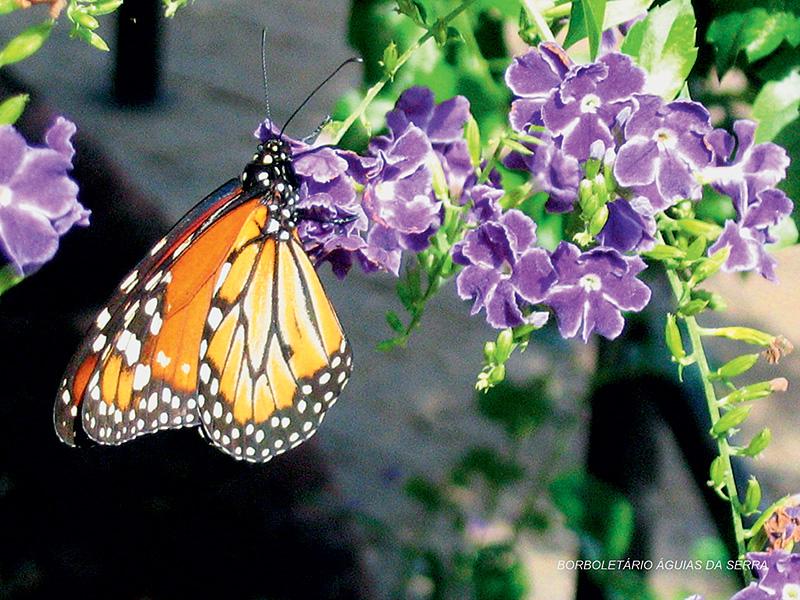 Monarca: de cor laranja, com manchas brancas e pretas, alcança quase 10 centímetros de envergadura e realiza voos baixos e lentos