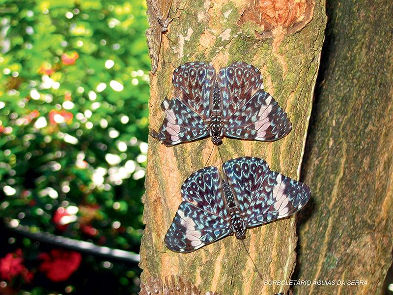 Estaladeira: essa espécie pousa geralmente de cabeça para baixo, de maneira a camuflar as suas asas junto aos troncos das árvores