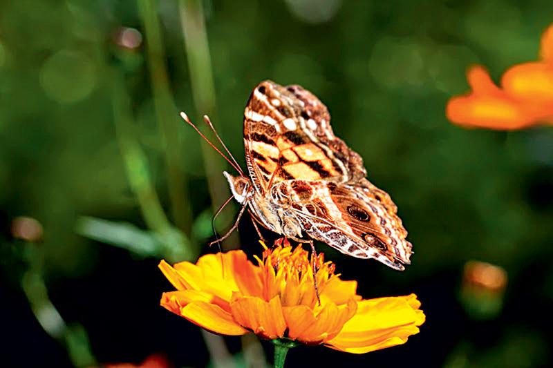Pingos-de-prata: recebe esse nome popular por causa das rajadas prateadas na parte central das asas, que se destacam sob a luz do sol