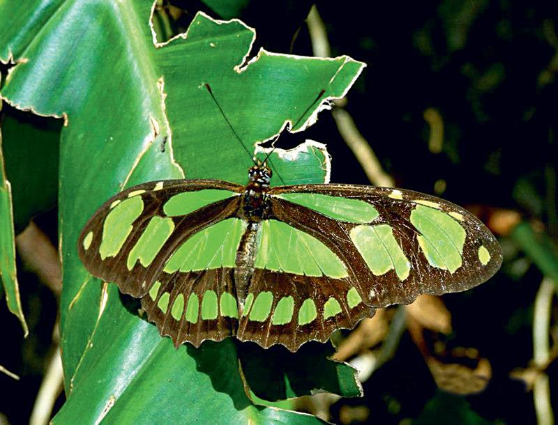 Siproeta: verde com manchas pretas, costuma ser vista em áreas ensolaradas, onde procura frutos fermentados e néctar para se alimentar