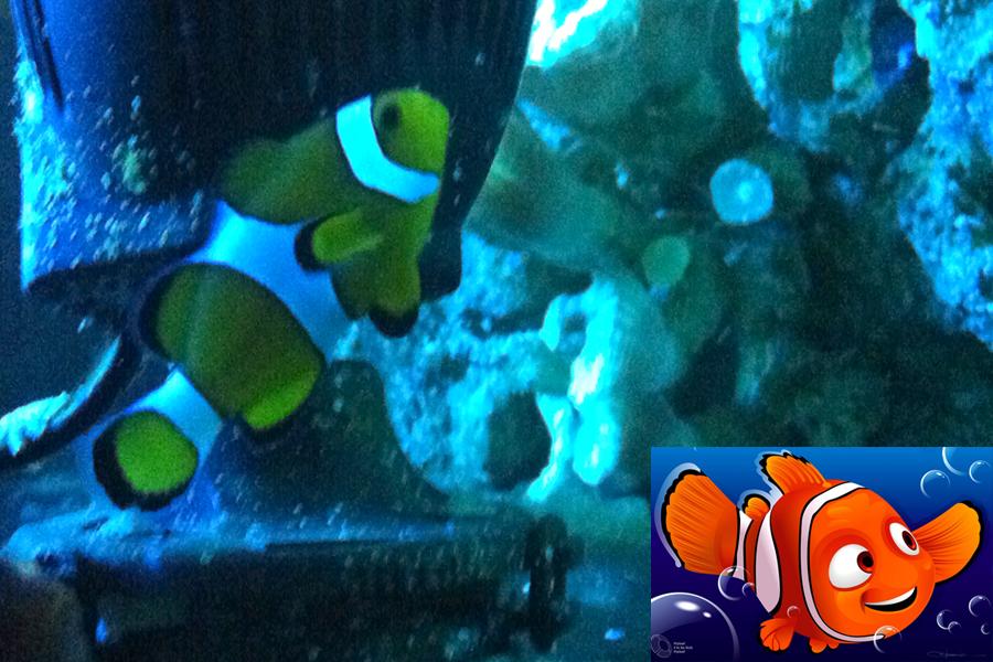 Aquário de São Paulo apresenta todos os peixes que inspiraram a turminha do filme Procurando Nemo. O personagem principal é o peixe-palhaço