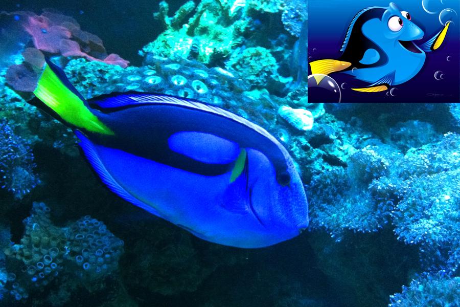 Procurando Nemo: a espécie Blue Tang foi representada em Dory