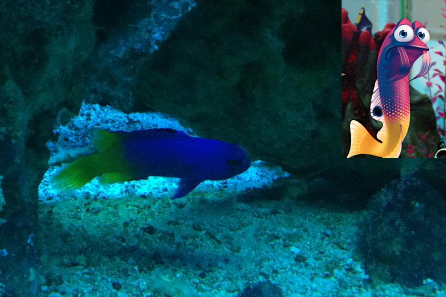 Procurando Nemo: Gurgle foi inspirada na pequena espécie gramma loreto