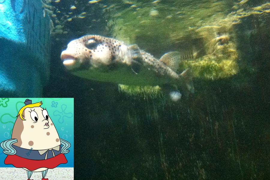 Professora de Bob Esponja, Senhora Puff, foi inspirada no peixe baiacu-de-espinho