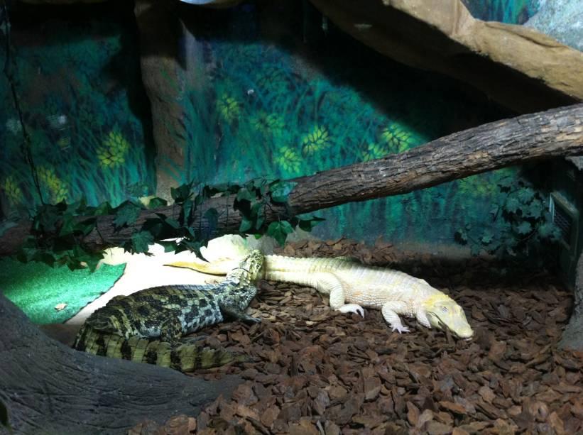 Jacaré albino raramente sobrevive na natureza, por ser alvo dos predadores