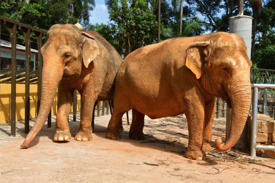 Elefante asiático: as orelhas são de grande importância para ele, pois quando abanadas fazem com que o calor em excesso no corpo diminua, resfriando o animal