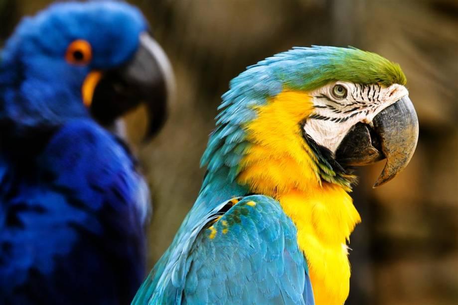 Arara-canindé: Pode medir 80 centímetros de comprimento. É encontrada desde a América Central até o sudeste do Brasil, Bolívia e Paraguai.