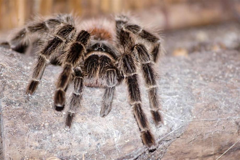 Aranha Caranguejeira: causa muito medo nas pessoas, mas é inofensiva e indispensável no equilíbrio da vida no planeta.
