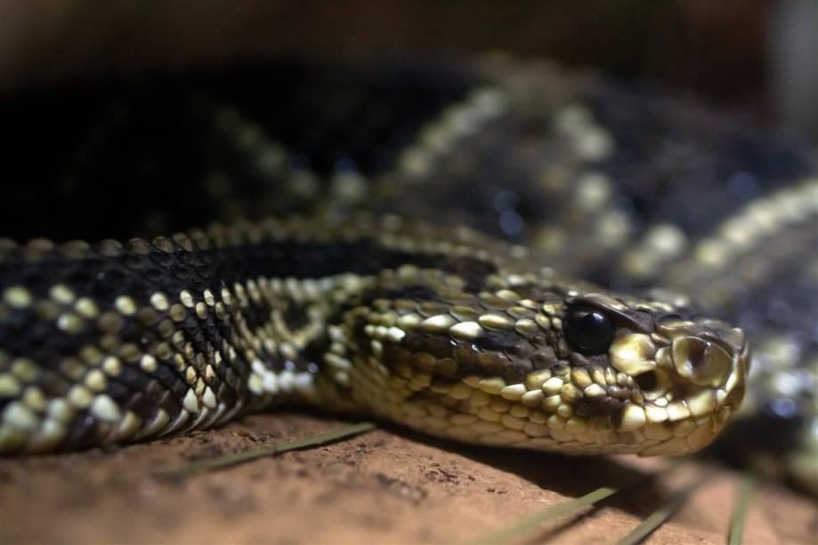Cascavel: o guiso na extremidade da cauda é a característica mais conhecida dessa serpente, que não chega a medir 2 metros.