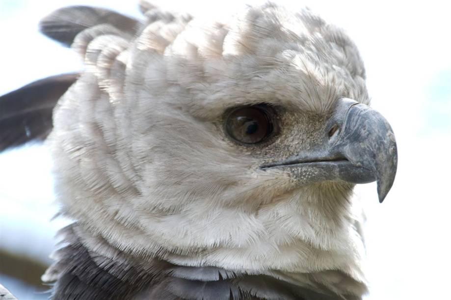 Harpia: é a maior de todas as águias. Recebe muitos nomes, como gavião-real, águia-real e denominações indígenas, como uiraçu e canoho