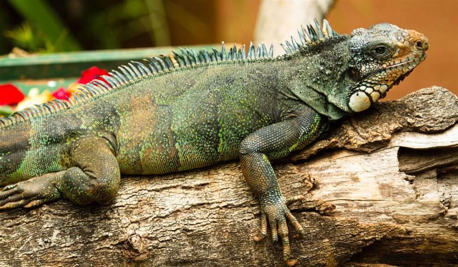 Iguana: às vezes é confundido com o camaleão, mas não muda a coloração conforme o ambiente.