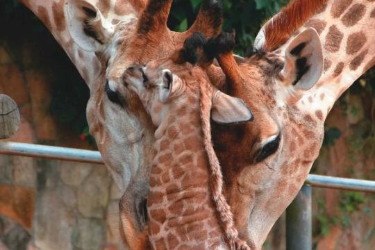 Girafas: São caracterizadas pelo enorme pescoço e capazes de utilizar a língua para limpar os olhos e as orelhas