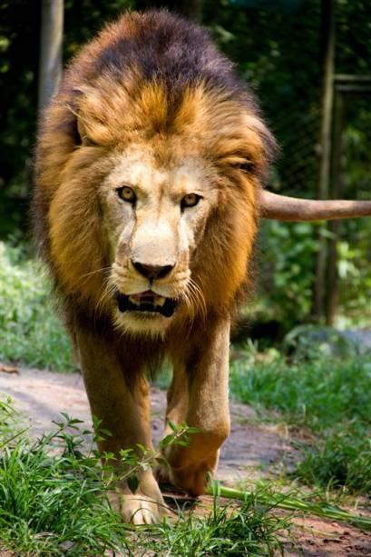 Leão: Um macho adulto pode consumir até 40 quilos de carne em uma refeição. Depois de se alimentar, pode descansar sobre a carcaça por dias