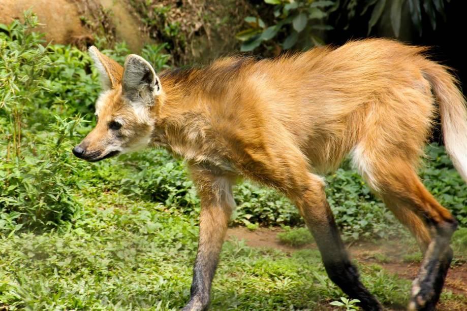 Lobo-guará: Ameaçado de extinção devido à destruição dos cerrados para plantações de soja e para pastos de gado