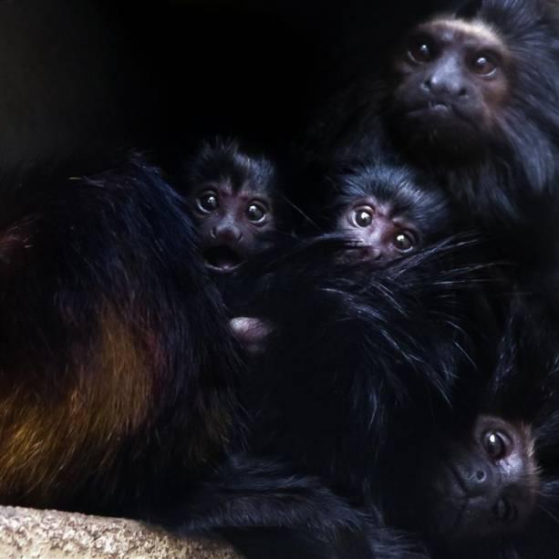 Mico-leão-preto: primata brasileiro encontrado apenas no estado de São Paulo.