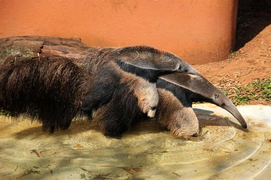 Tamanduá-bandeira: Em vida livre, está sempre sozinho, sendo encontrado em pares apenas em época de acasalamento ou fêmeas com filhotes