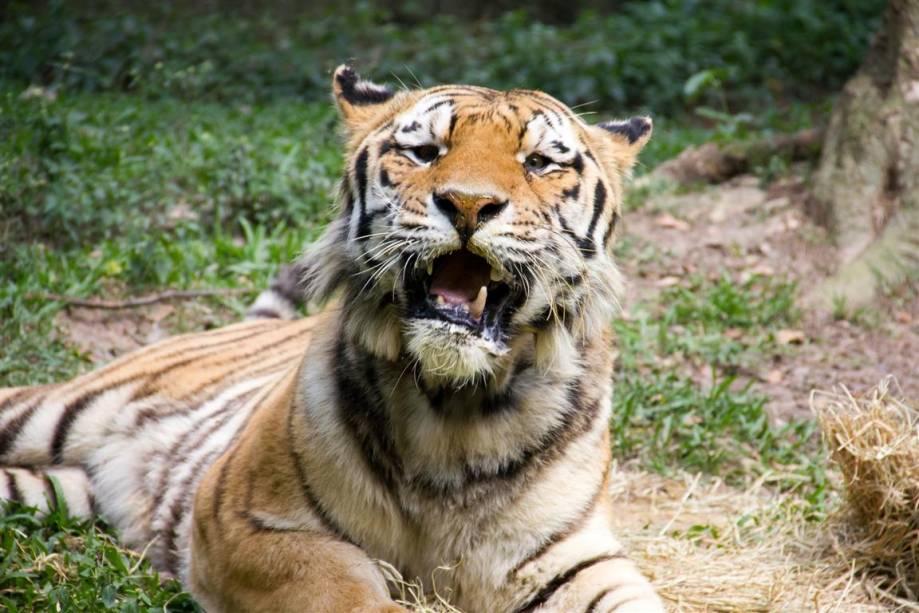 Tigre-siberiano: Já existiram nove espécies de tigres, mas três já estão extintas. As seis que sobrevivem estão ameaçadas.