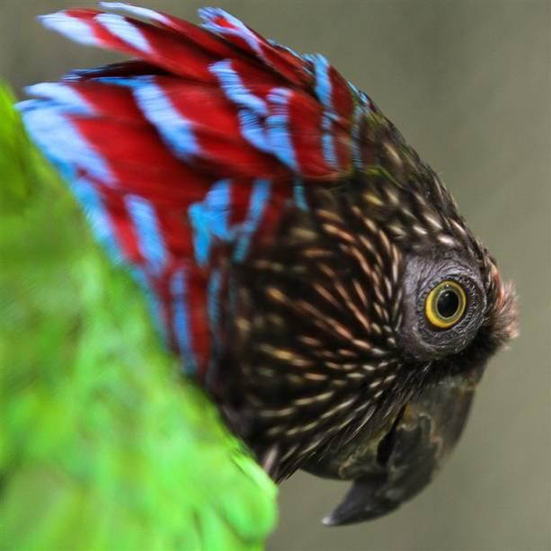 Anacã: também conhecida como papagaio-de-coleira, mede aproximadamente 41 centímetros.