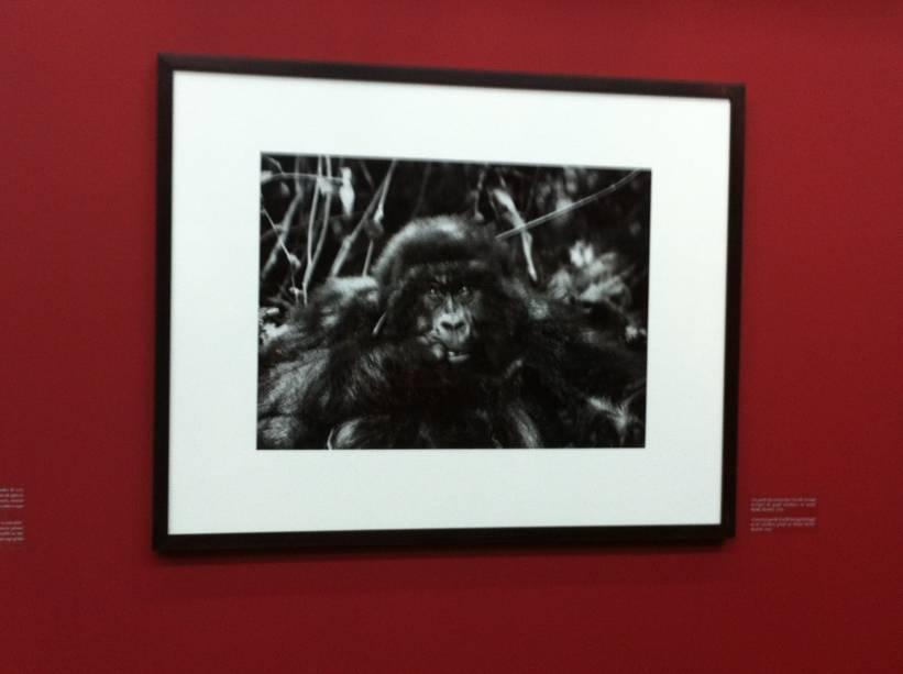 """Quando fotografou um gorila-das-montanhas, do grupo Amahoro, no monte Bisoke, em Ruanda, Salgado ficou impressionado com a reação do animal: """"Para se aproximar da espécie, você precisa se curvar e oferecer a sua nuca, que é onde ela ataca quando se sente ameaçada. Depois que fiz isso, o animal chegou perto e viu a própria imagem refletida na lente da câmera. Como forma de se identificar, ele ficava colocando e tirando a mão da boca. Foi uma emoção extrema"""""""