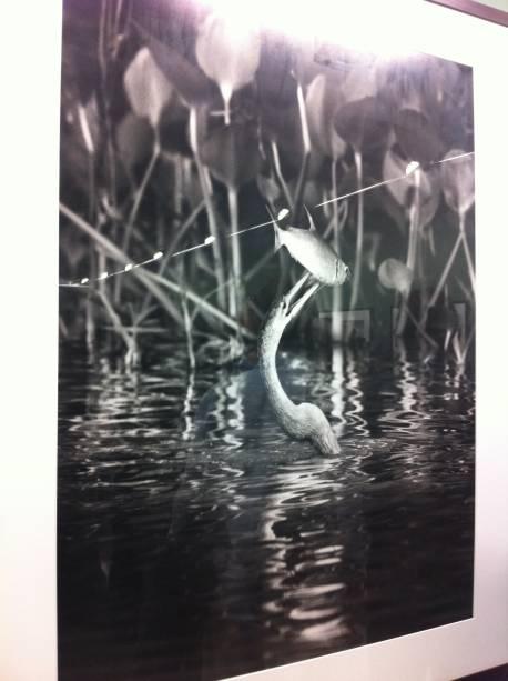 """Imagem tirada no norte do Pantanal, no Mato Grosso do Sul: """"A biguatinga é uma grande ave aquática e tinha acabado de pescar um lambari. Consegui captar o exato momento. Foi muita sorte"""""""