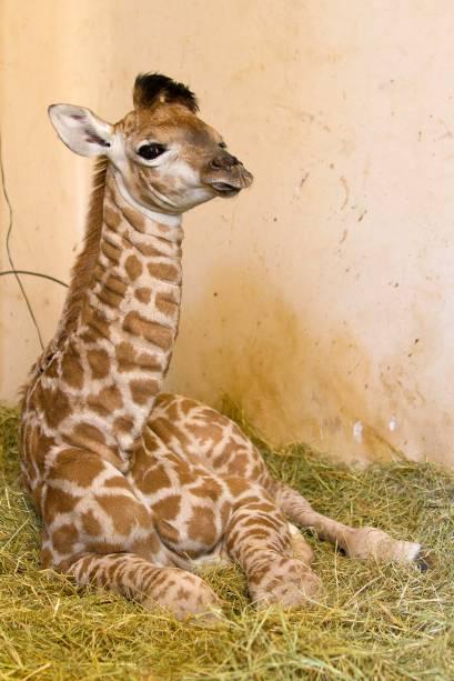 Uma girafa nasceu no Zoológico de São Paulo no dia 7 de julho