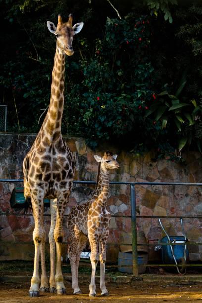 O filhote de girafa nasceu com cerca de 1,85 metro