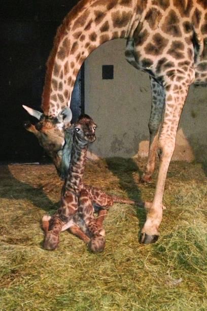 Este já é o 24º nascimento de girafa no zoológico