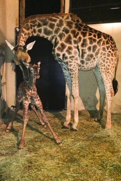 O primeiro nascimento de girafa no Zoológico de São Paulo aconteceu em 1977