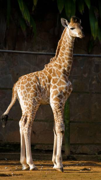 A girafa é o animal mais alto do mundo. As fêmeas chegam a medir 4,3 metros e os machos, 5,3 metros