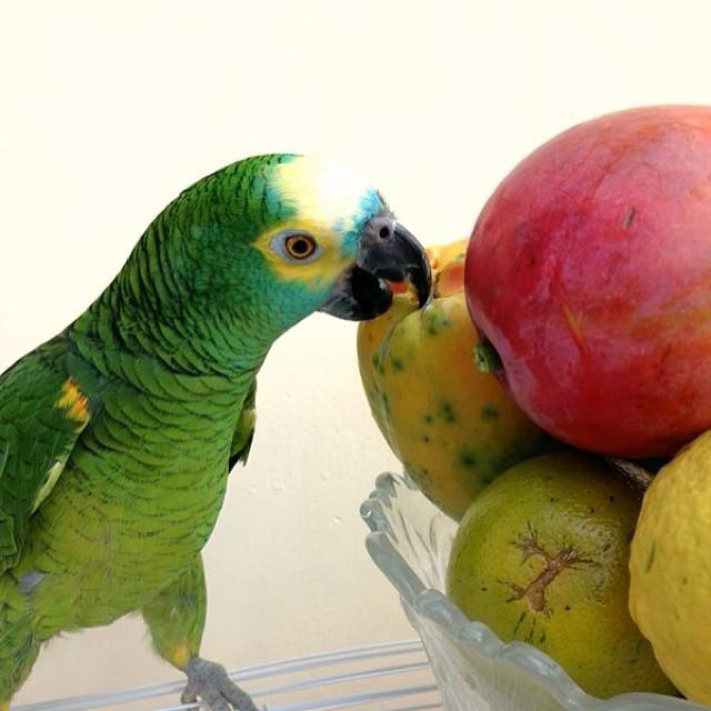 O papagaio Fred beliscando mamão, em foto de Lucilia Diniz (@luciliamariadiniz), ficou com 34% dos votos