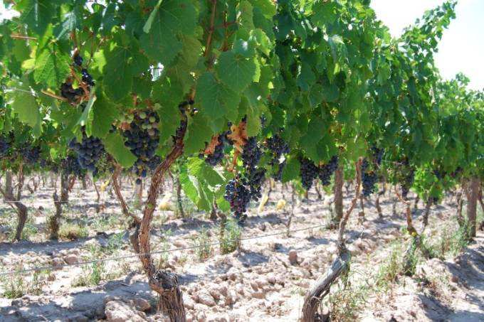 Malbec: a uva símbolo da Argentina se beneficia do terroir