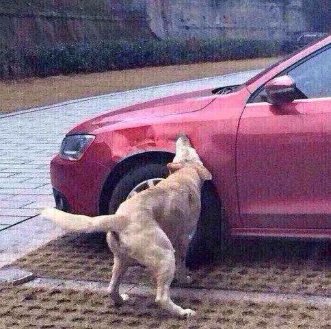Cachorro China Carro
