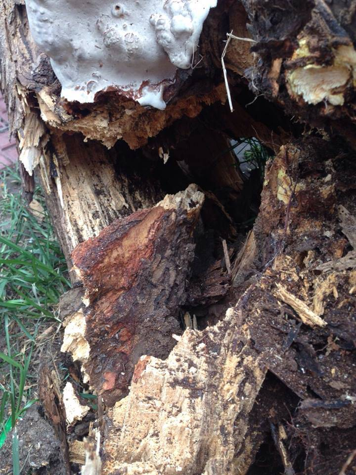 árvore com cupins