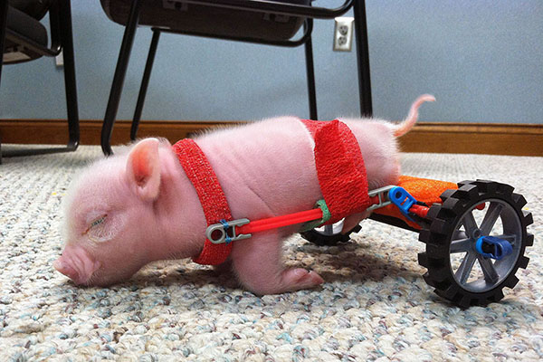 Piglet on Wheels, Florida, America – 01 Feb 2013