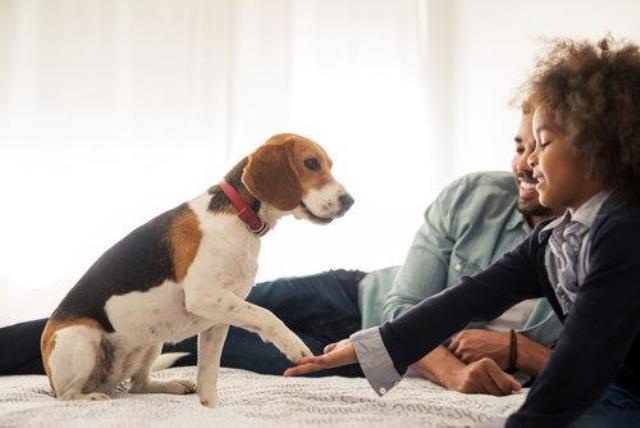 O beagle é perfeito para os virginianos