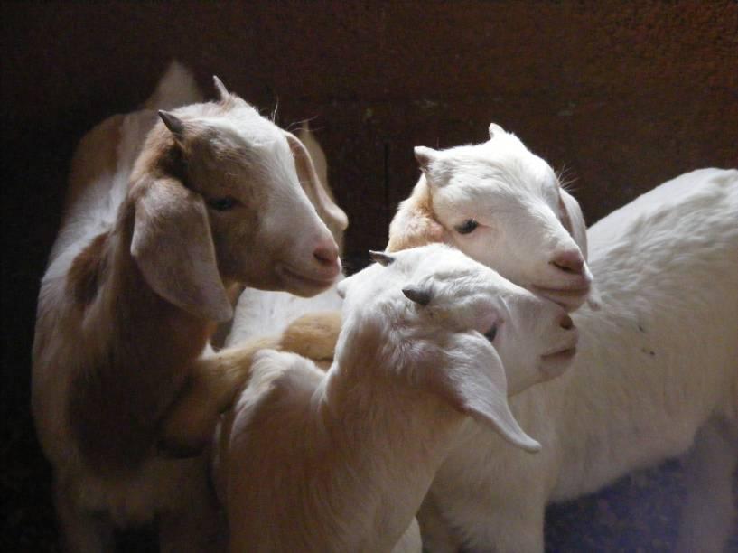 Brincalhões: os filhotes só dão trabalho na hora de mamar na mãe cabra