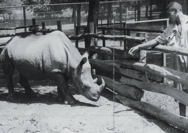 cacareco rinoceronte
