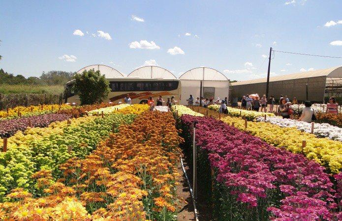 Campo de flores, em Holambra, parte do passeio turístico disponível ao visitante