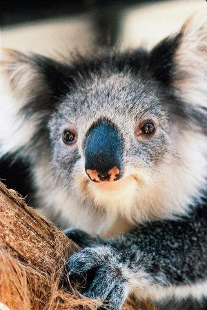 coala-no-santuario-healesville-jpg