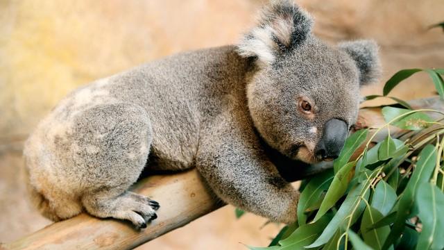 O coala Rei Billy, novo habitante do Aquário de São Paulo (Foto: Divulgação)