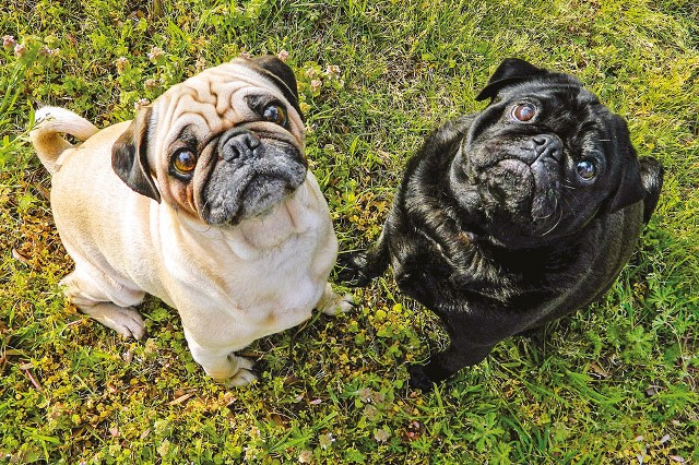 dogs_pugs_cute-jpg