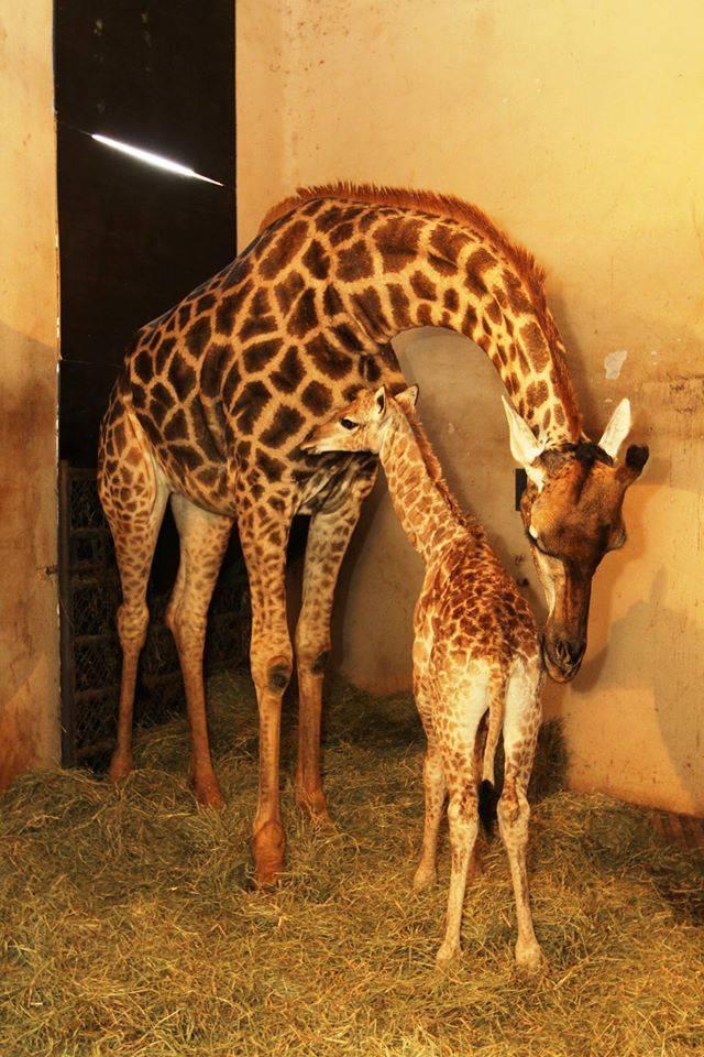 Girafa Zoológico