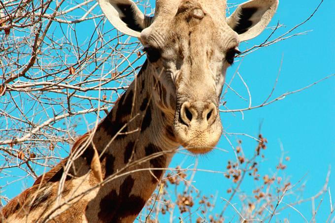 girafe3