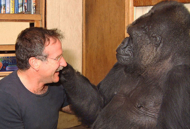 gorila1