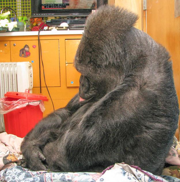 gorila2