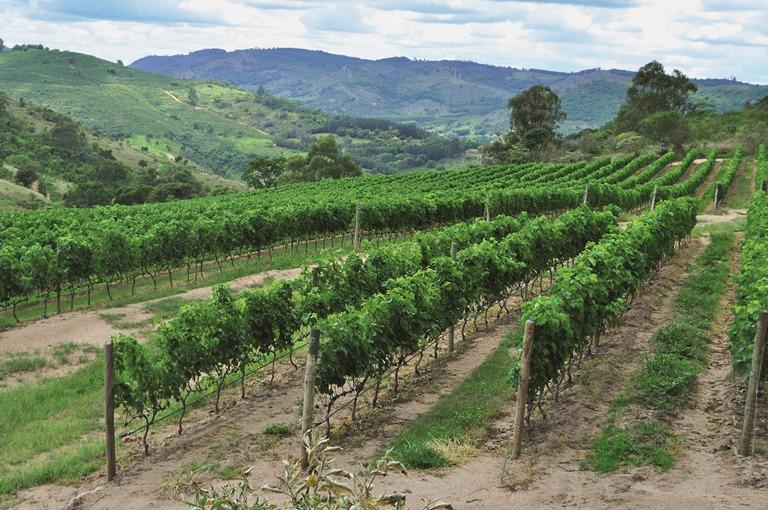 Um dos vinhedos em Espírito Santo do Pinhal: uvas syrah (Foto: Arnaldo Lorençato)