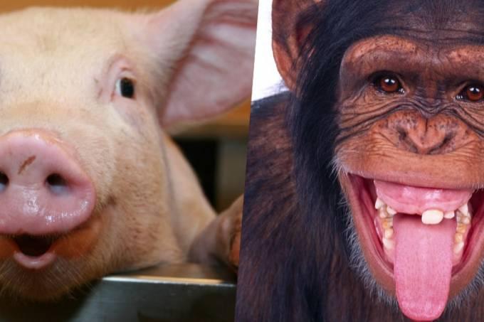 humanos-cruzamento-macaco-e-porco