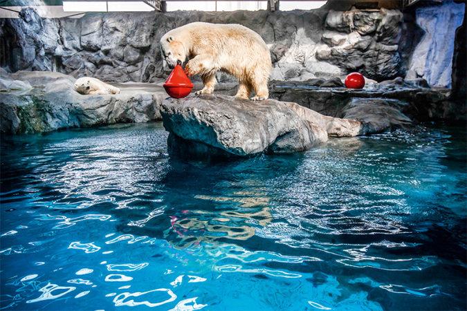 Ursos polares: estrelas do Aquário de São Paulo (Foto: Mario Rodrigues)