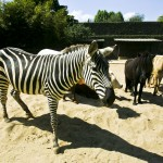 A zebra Mortadela (Foto: Mario Rodrigues)