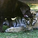 O tigre Sultão brinca com uma dos cachorros de Kherlakian (Foto: Mario Rodrigues)